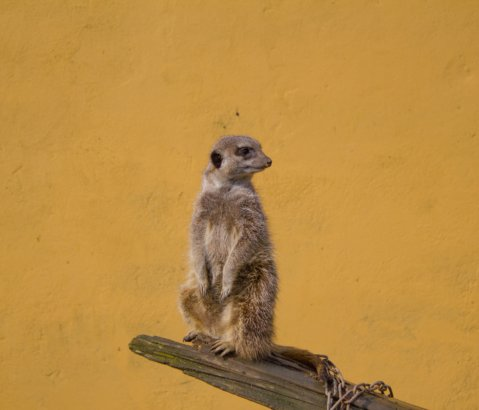 In Praise of the Socialism of Meerkats