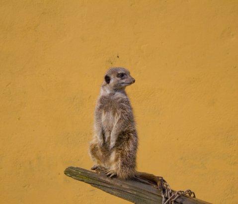 In Praise of the Socialism of Meerkats